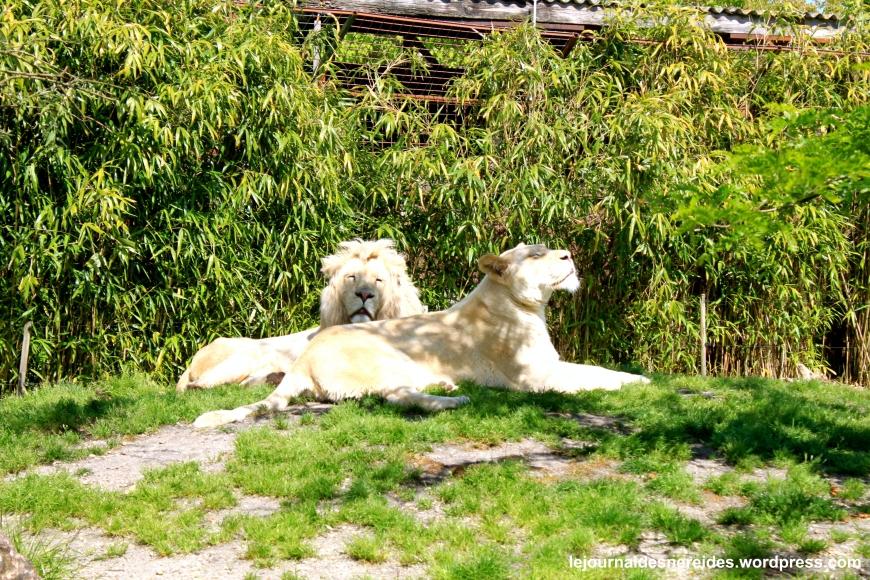LIONS BLANCS