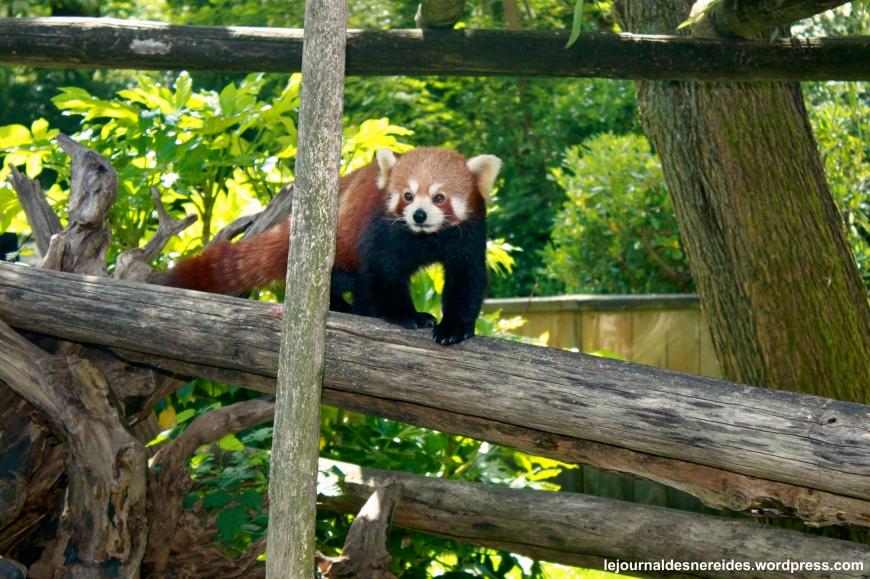 Panda Roux Bis